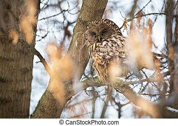 Sleepy ural owl sitting on tree in winter nature. - Sleepy ...