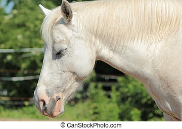 Sleepy white horse