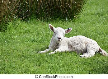 Sleepy White Lamb in a Grass Field on a Farm