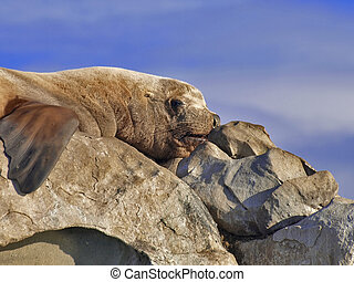 Sleepy wild male Steller Sea Lion