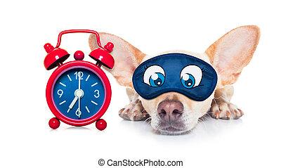 sleepyhead dog - chihuahua dog resting ,sleeping or having a...