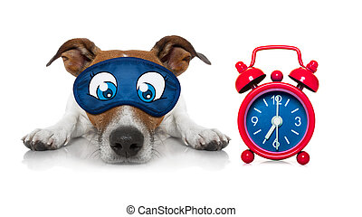 jack russell dog resting ,sleeping or having a siesta with a clock and eye mask