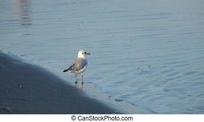 Slender-billed gull walking on the seashore