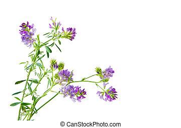 Slender Bush Clover - Slender Bush-clover Lespedeza...