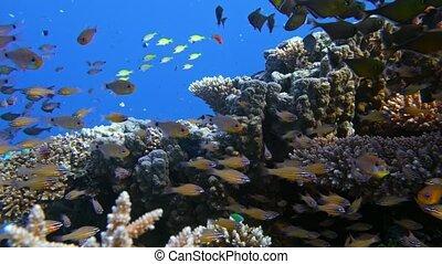 Slender cardinalfish Rhabdamia gracilis swimming underwater...