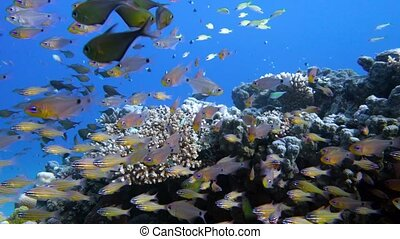 Slender cardinalfish Rhabdamia gracilis swimming underwater...