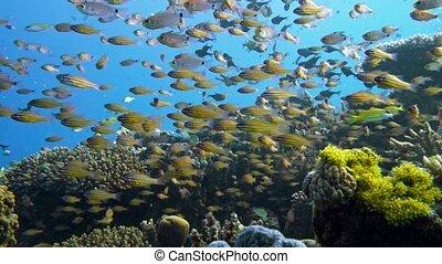 Slender cardinalfish Rhabdamia gracilis swimming underwater in Egypt