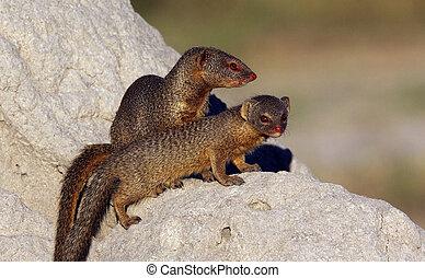 Slender Mongoose - Botswana