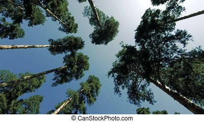 Slender pine trees and blue sky, pure nature. - Tall,...