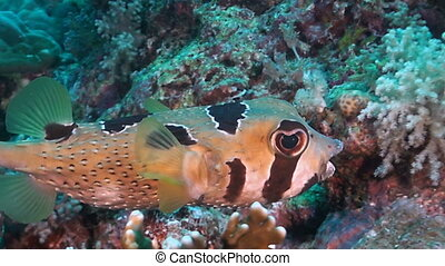 Slender-spined porcupine fish - Porcupinefish are fishes of...