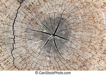 slice from a fir tree of old wood texture.