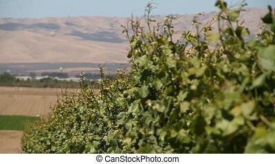 slide rail shot of wine grapes
