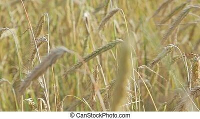 Ears of rye - Slider shot. Ears of rye