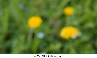 Slider shot of dandelions on springtime