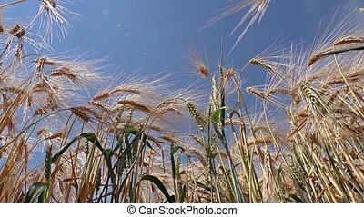 Slider shot of ripe wheat ready for the harvest