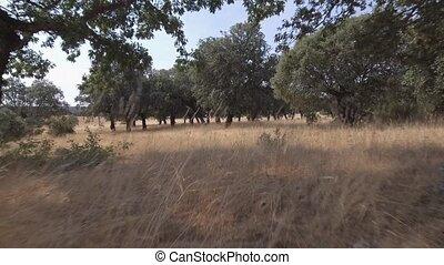 Sliding backward between holm oak tree - Wide angle backward...