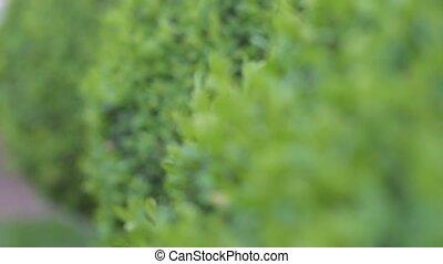 Focus and defocus on green garden bushes - Sliding focus...