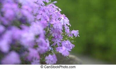 Focus and defocus on gillyflower and green bush - Sliding...