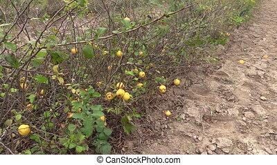 organic quince bush