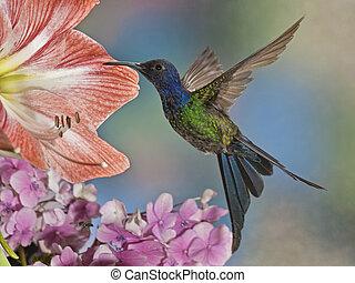 slikt-tailed, kolibrie