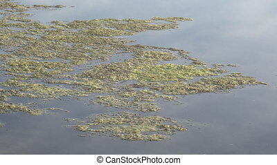 Slimy, green floating water algae on the pond surface. Green...