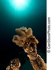 Slimy leather coral in the Red Sea.