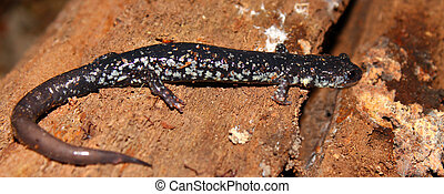 Slimy Salamander (Plethodon glutinosus) at Monte Sano State Park, Alabama.