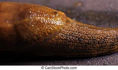 Slimy Snail Moving - Close up of a slimy snail moving slowly