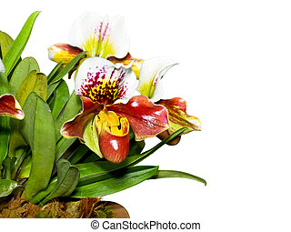 Slipper Orchid ( Paphiopedilum ) , Flora with flowers shaped exotic and rare on white background