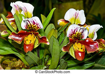 Slipper Orchid ( Paphiopedilum ) , Flora with flowers shaped exotic and rare.