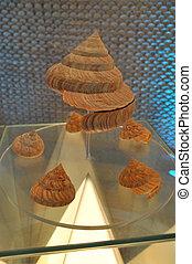 Slit Shell at Bangkok Seashell Museum