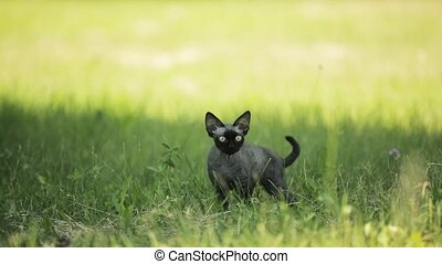 slo-mo, breed., gris, devon, rigolote, jeune, grass., chat, chaton, anglaise, mouvement, rex, vert, lent, court-d'une chevelure