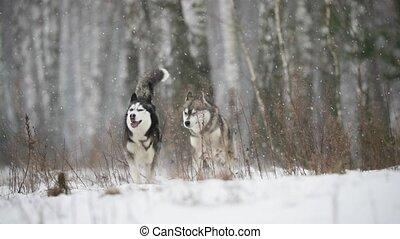 slo-mo, extérieur, champ, rigolote, hiver, chien, neigeux, courant, day., deux, mouvement, lent, siberian husky