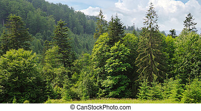 Slopes of mountains, coniferous trees and clouds in the evening sky. Picturesque and gorgeous scene. Wide photo.