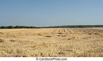 sloping field of wheat in the autum
