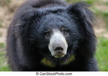 sloth bear (Melursus ursinus) - close-up of a sloth bear...