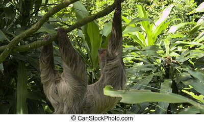 Sloth crawling slowly along a vine - Wide side view of a...