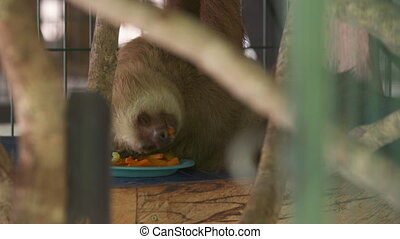 Sloth Feeding While Hanging, Costa Rica Sanctuary - Close-up...