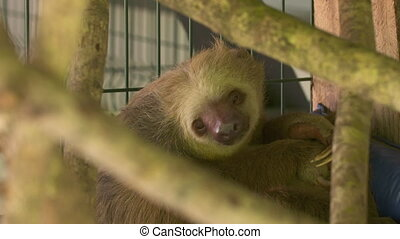 Sloth In A Cage At A Sanctuary Centre, Costa Rica - Close-up...