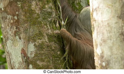 Sloth On A Tree | Tropical Rainforest, Costa Rica