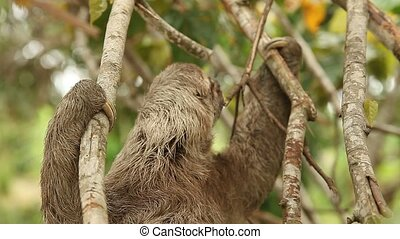Sloth, Southamerica