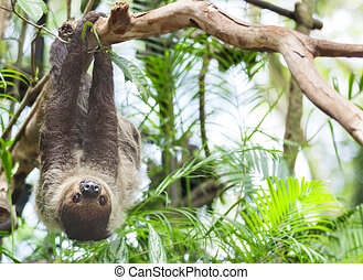 sloth três-three-toed