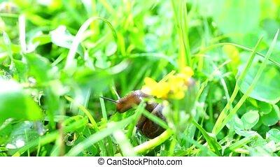 Slow brown snail climbing grass - Close up view at brown...