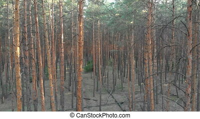 Slow Flight Inside Pine Tree Forest. Aerial view with drone