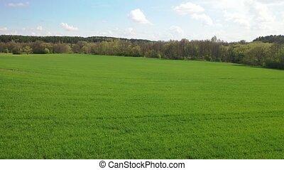 Slow flight over a green sown field. 4K drone footage.Fields of Belarus.