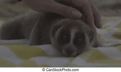 Slow loris on the beach towel. - Slow loris monkey lying on...