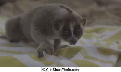 Slow loris on the beach towel. - Slow loris sitting on the...