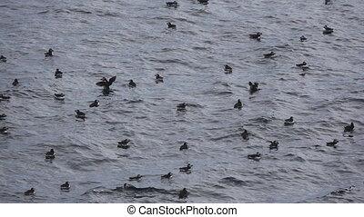 slow-mo, s'agiter, eau, puffins, ailes, sur