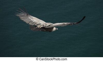 slow-mo, vue, vautour, sommet, contre, océan, voler