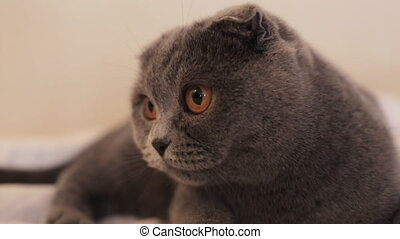 Slow motion. A Beautiful Scottish Fold cat is lying on the couch at home